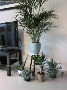 Dracena plant (2)