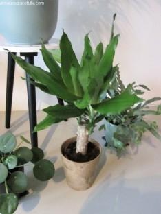 Dracena plant (3)